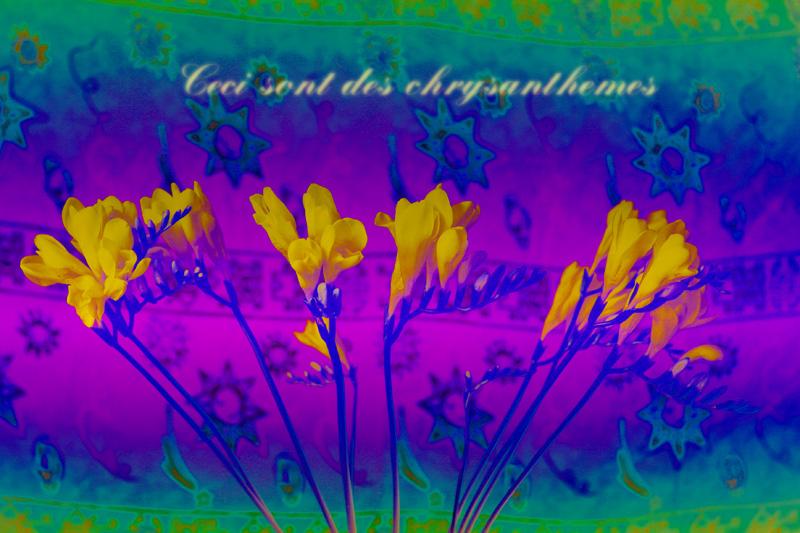 Ceci sont des chrysanthèmes